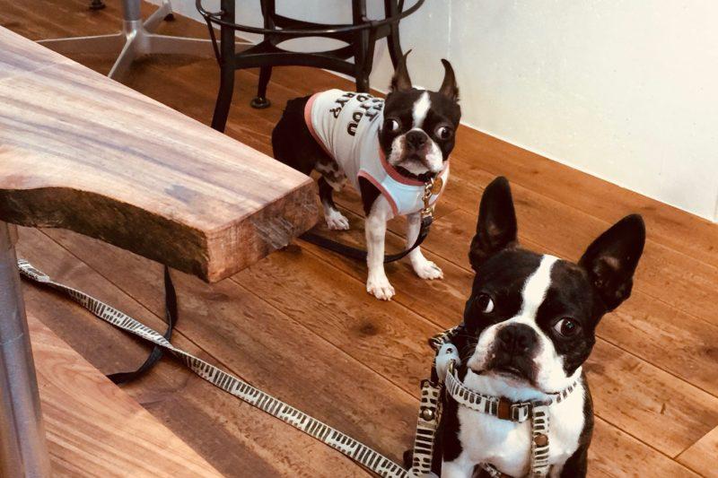 dogcafe-Bostonterrier-hopi-coffee-bean-stand-cafe-fukuoka-organic-decaf-caffeine